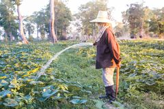 Farmer giving fertilizer and water to pumpkin. Royalty Free Stock Photography