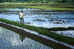 A farmer going for work in a agriculture land. Nov 24, 2012. a male farmer walking on a agriculture land to do his work. the fertile land was full of water with Royalty Free Stock Photo
