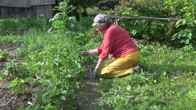Farmer grandmother woman weed and eat strawberry plants stock video