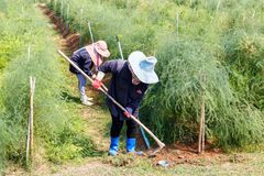 Farmer grass shear vegetable with hoe in thailand countryside stock image