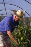 Farmer and green pepper Stock Photos