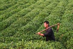 Farmer and green tea garden Stock Images