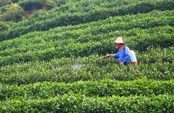 Farmer at green tea garden. A farmer spraying insecticide in green tea garden Royalty Free Stock Images