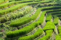 Farmer in green terraced rice field at Ban Pa Bong Peay in Chian Royalty Free Stock Photo