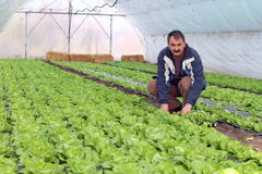 Farmer in Greenhouse. Growing fresh butter lettuce in a greenhouse Stock Photography