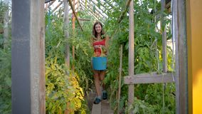 Farmer In Greenhouse Carries Full Bucket Of Ripe Tomatoes Just Collected. Caucasian woman farmer in a greenhouse at agricultural rancho, carries a bucket of ripe stock footage
