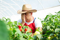 Farmer in greenhouse checking chili peppers Royalty Free Stock Image