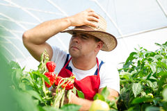 Farmer in greenhouse checking chili peppers Royalty Free Stock Photography