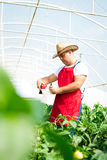 Farmer in greenhouse checking peppers plants Stock Photography