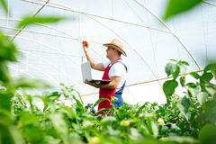 Farmer in greenhouse checking peppers plants Royalty Free Stock Photo