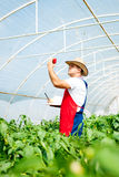 Farmer in greenhouse checking peppers plants Royalty Free Stock Photography