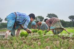 Farmer. A group of farmers planting rice paddy in the field. Jessore, Bangladesh royalty free stock image