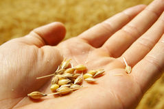 Farmer growing grain wheat background Royalty Free Stock Photos