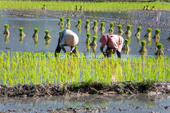 Farmer growing rice on the paddy farmland. Vietnam womens farmer growing rice on the paddy rice farmland, in An Giang province, Vietnam Royalty Free Stock Image