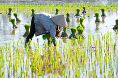 Farmer growing rice on the paddy farmland. Vietnam womens farmer growing rice on the paddy rice farmland, in An Giang province, Vietnam Royalty Free Stock Photography
