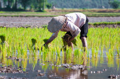 Farmer growing rice on the paddy farmland Royalty Free Stock Photos