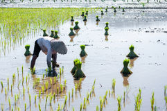 Farmer growing rice on the paddy farmland Stock Photography