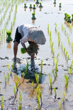Farmer growing rice on the paddy farmland. Vietnam womens farmer growing rice on the paddy rice farmland, in An Giang province, Vietnam Stock Photo