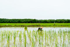 Farmer   growing rice  in rice field,Thailand Stock Photos