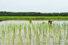 Farmer   growing rice  in rice field,Thailand Royalty Free Stock Photography