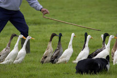 Farmer guiding ducks. Farmer with sheep dog guiding ducks royalty free stock photography