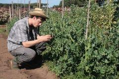 Farmer guy in his vegetable garden Stock Images
