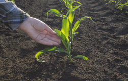 Farmer hand in corn field. Agricultural concept. Stock Images