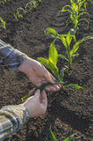 Farmer hand in corn field. Agricultural concept. Royalty Free Stock Photo