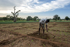 A farmer hand cultivates a crop at Sigiriya in Sri Lanka. Stock Photo