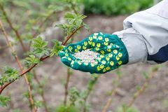 Farmer hand dressed in a glove holding chemical fertilizer next Royalty Free Stock Photography