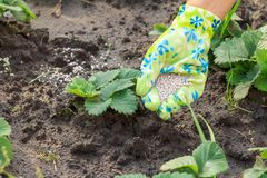 Farmer hand giving chemical fertilizer to young strawberries pla Royalty Free Stock Photography