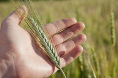 Farmer hand with green wheat spikelet Royalty Free Stock Photography