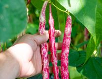 Farmer hand holding fresh bean pods Royalty Free Stock Photography