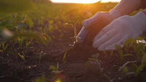 Farmer hand holding leaf of cultivated plant. Hands holding pile of arable soil. Agriculture, gardening or ecology