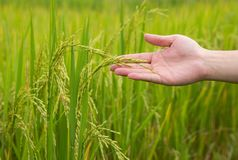 Farmer hand holding a young rice in the rural area field royalty free stock images
