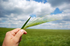 Farmer hand keep green wheat spikelet. Stock Images