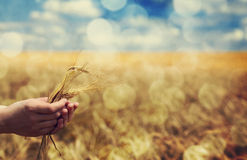 Farmer hand keep green wheat spikelet. Royalty Free Stock Photography