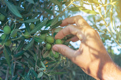Farmer hand picking fresh green olive fruit from tree branch Stock Photos
