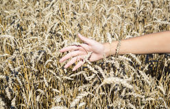 Farmer hand stroking rye cones Royalty Free Stock Photography