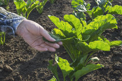 Farmer hand in sugar beet field. Farmer hand in sugar beet field, selective focus. Agricultural concept Royalty Free Stock Photography