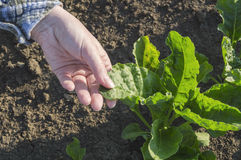 Farmer hand in sugar beet field. Farmer hand in sugar beet field, selective focus. Agricultural concept Stock Image
