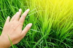 Farmer hand touching green rice field with sunrise background. In the morning Stock Images