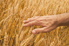 Farmer hand in Wheat field. Stock Photo