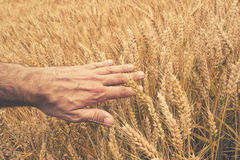 Farmer hand in Wheat field. Royalty Free Stock Photography