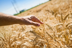 Farmer hand in wheat field Royalty Free Stock Image