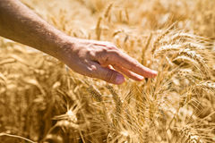Farmer hand in wheat field Royalty Free Stock Photo