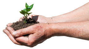 Farmer handful with soil and green sprout Royalty Free Stock Image