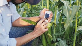 Farmer with a handheld digital device checks for nitrates harvest. Farmer in the sweet corn field with a handheld device checks for nitrates harvest. Close-up stock footage
