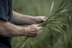 Farmer handling his crop Royalty Free Stock Photos