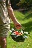 Farmer hands collecting cutting tomato Stock Photos